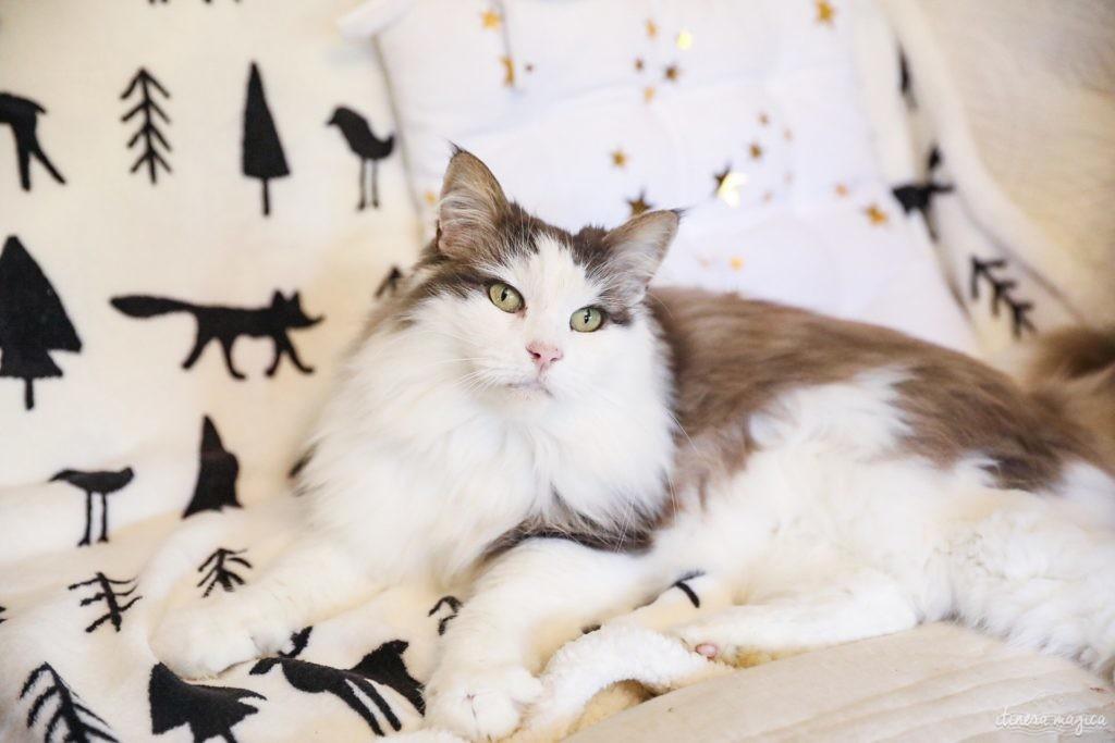 chat norvégien bleu et blanc