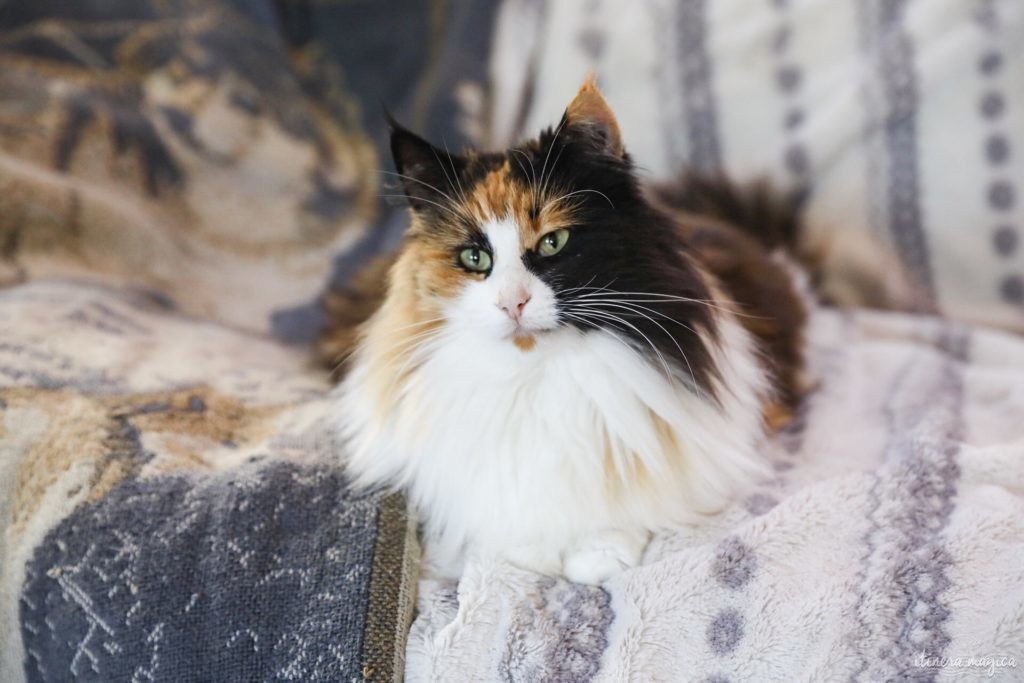 chat norvégien écaille et blanx