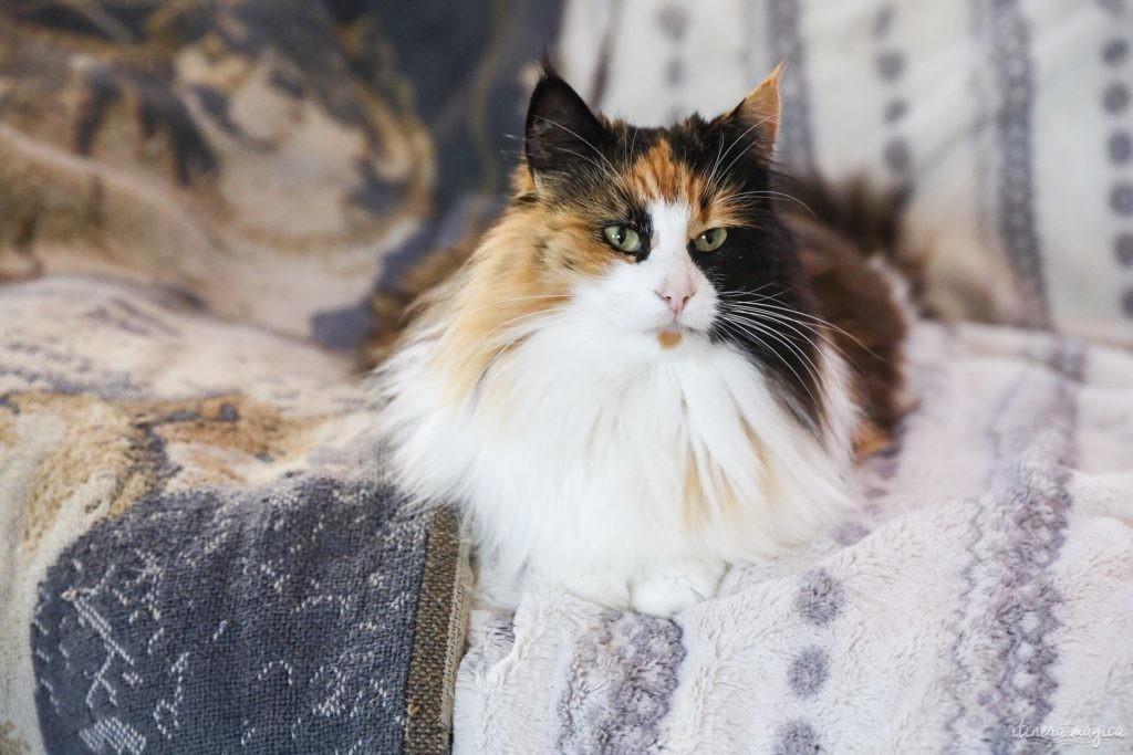 chat norvégien écaille et blanc