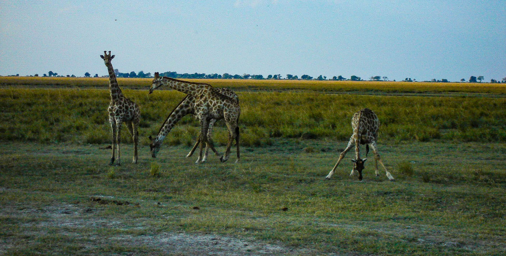 Acrobaties des girafes.