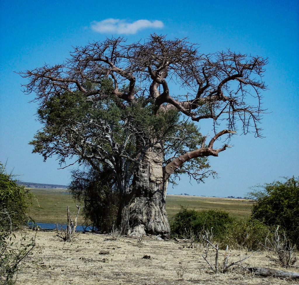 Baobab, l'arbre miraculeux des savanes, celui qui résiste aux incendies, dont les fruits sont comestibles, et dont le tronc creux sert de refuge, de source et de temple.
