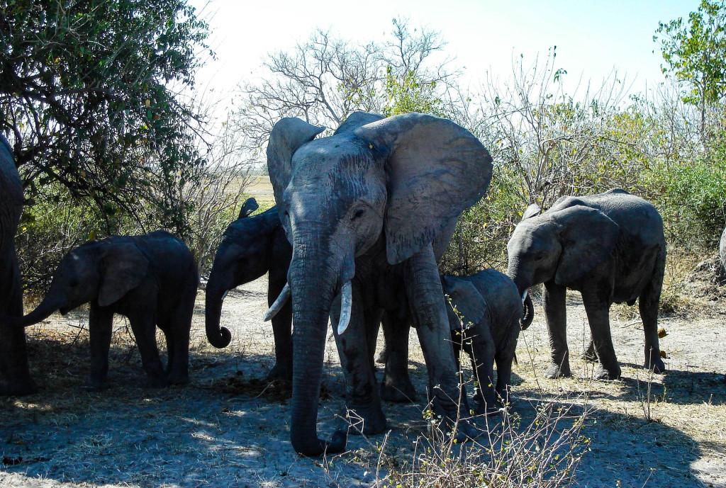botswana okavango éléphant safari voyage afrique