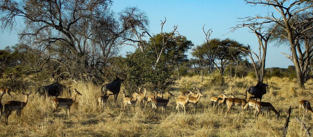 Gnous et impalas.