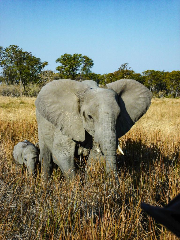 Face à face avec l'éléphant.