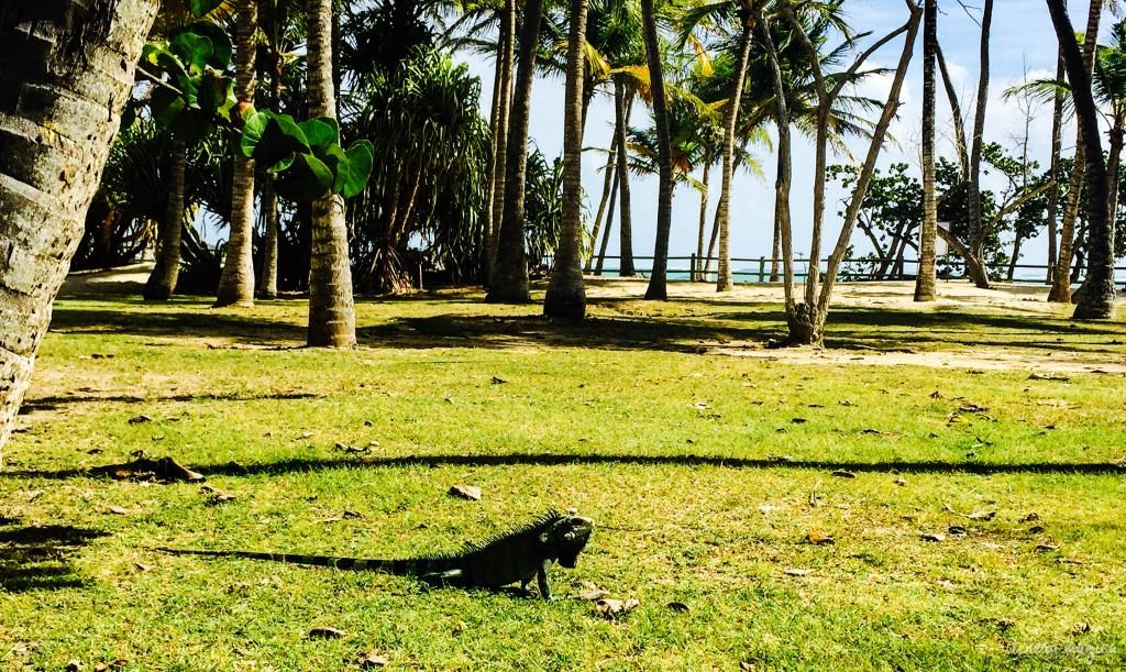 Un des nombreux iguanes qui ont hanté le séjour.