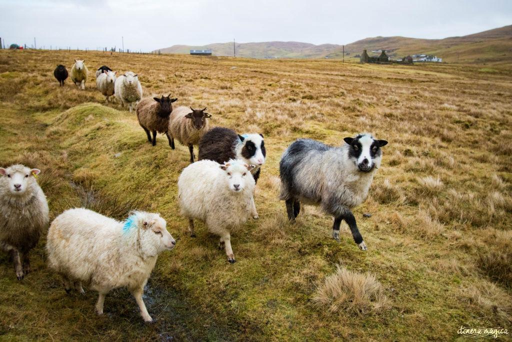 Guide des Shetlands. Blog Shetland