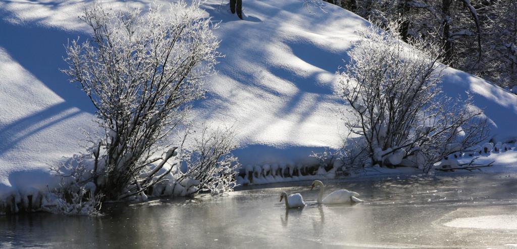 """""""De leur col blanc courbant les lignes,/ On voit dans les contes du Nord,/ Sur le vieux Rhin, des femmes-cygnes/ Nager en chantant près du bord,/ Ou, suspendant à quelque branche/ Le plumage qui les revêt,/ Faire luire leur peau plus blanche/ Que la neige de leur duvet."""" Théophile Gautier, Symphonie en blanc majeur"""