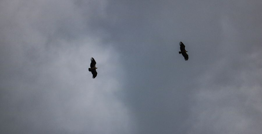 Vultures in the grey sky.
