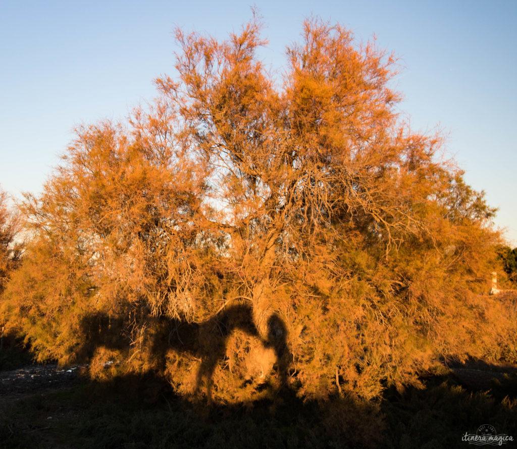 Noël en Camargue, que faire en Camargue en hiver, Saintes Maries de la Mer, chevaux de Camargue en hiver
