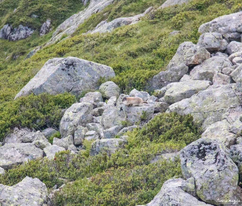 Marmotte à Chamonix