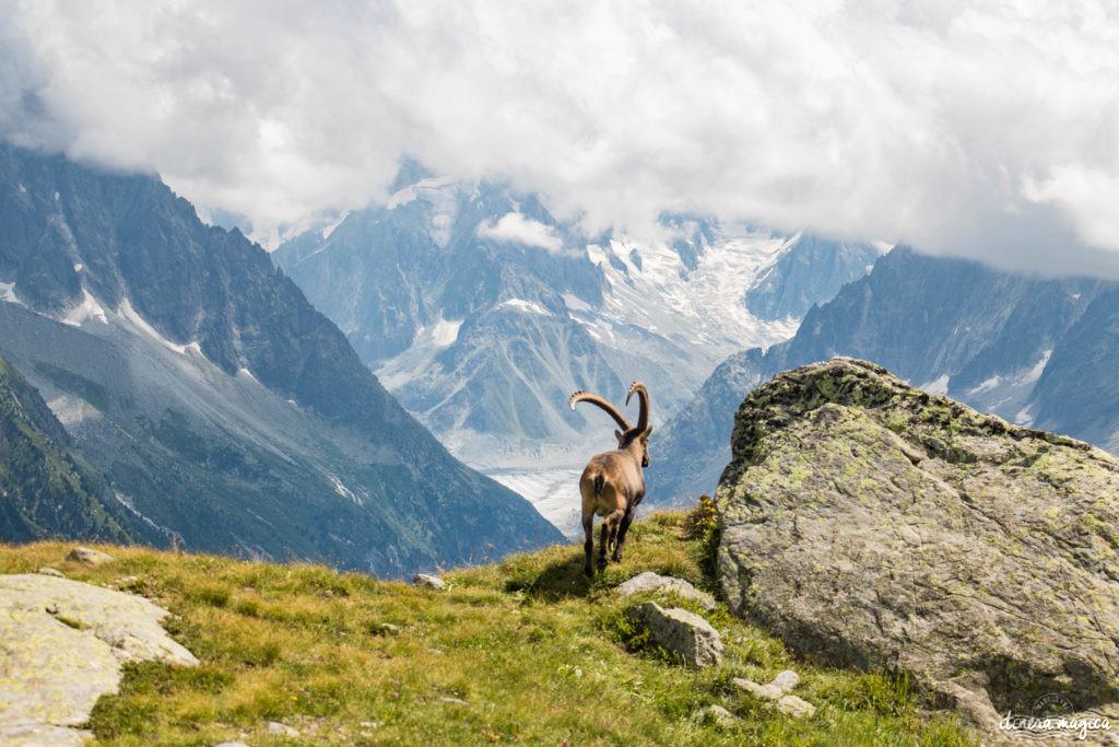 Où voir des bouquetins dans les Alpes ? A Chamonix