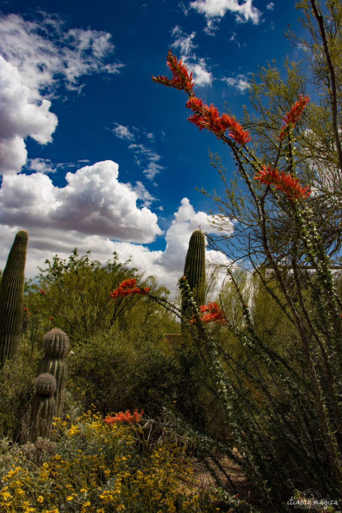 Cactus, crotales et coyotes : le désert d'Arizona regorge de créatures extraordinaires. Rencontrez les Saguaro, les serpents à sonnette et les colibris sur Itinera Magica !