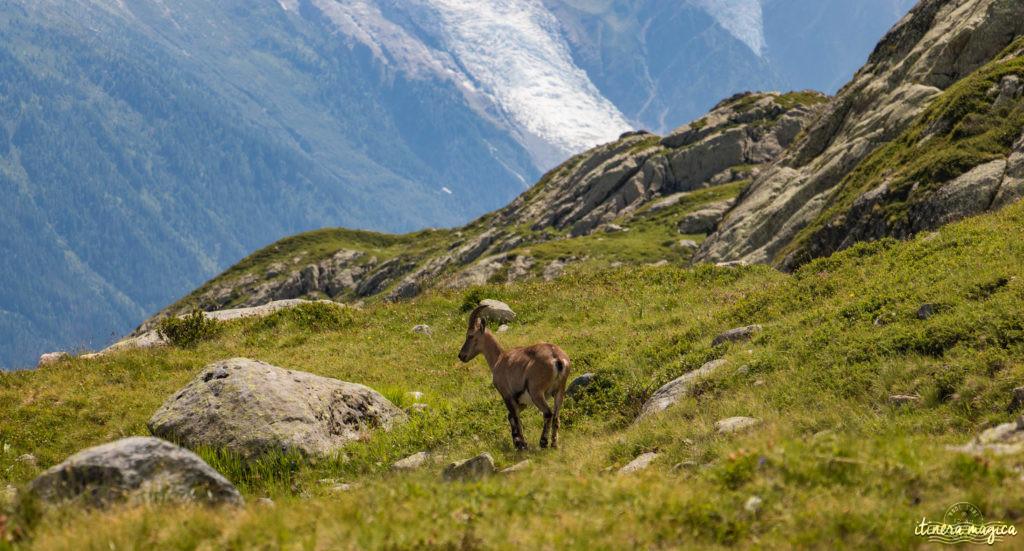 Où voir des bouquetins dans les Alpes ? Où voir des bouquetins à Chamonix ?
