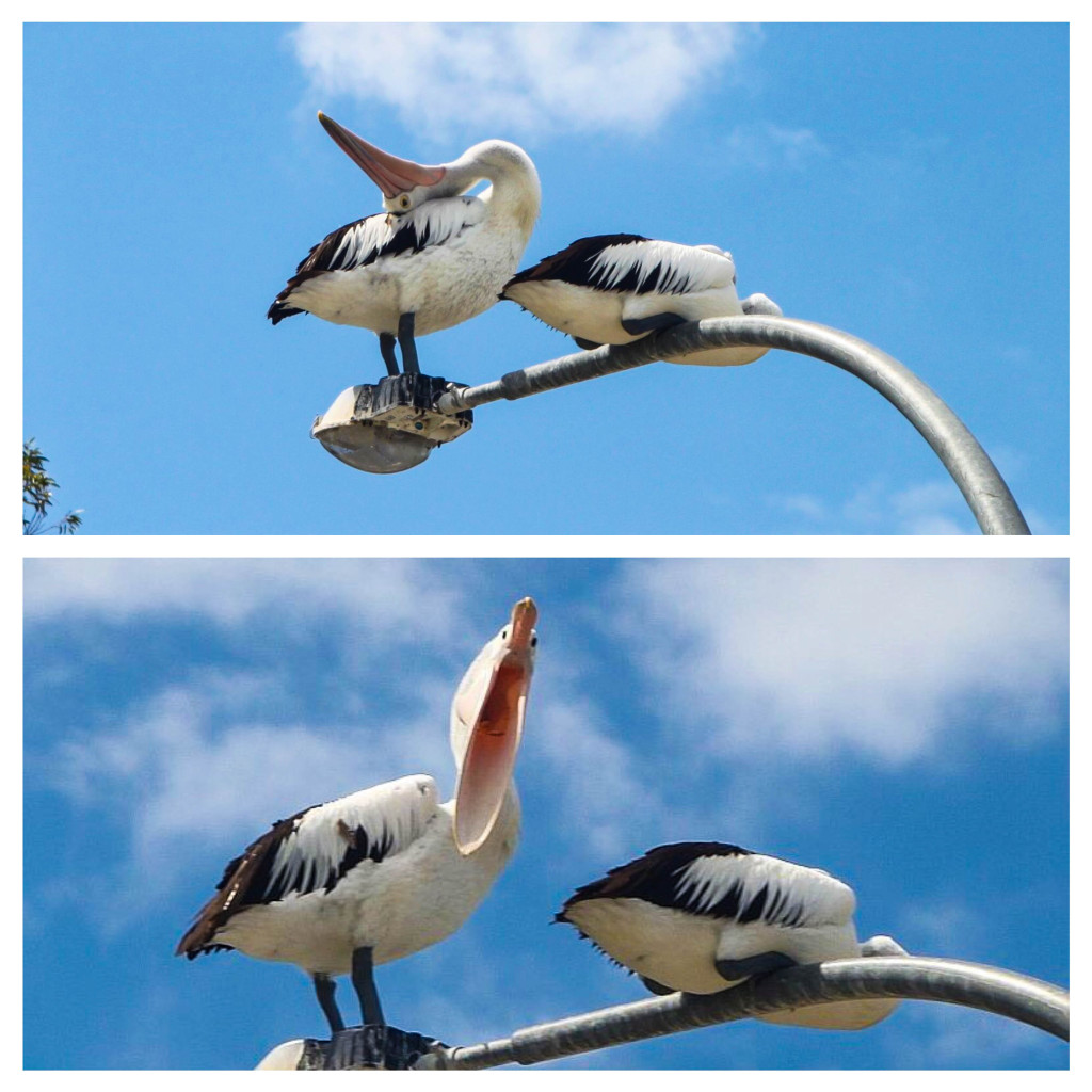pélicans australie faune oiseau amusant rigolo
