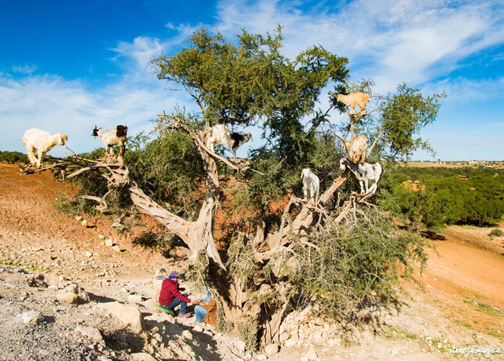 Maroc, chèvres dans les arbres