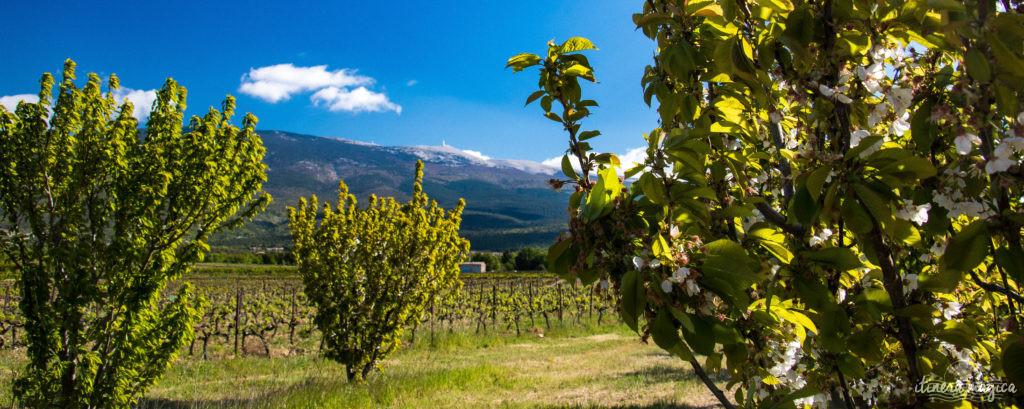 Le Mont Ventoux est le gardien de Provence, royaume du mistral et des pierres blanches. Cerisiers du Mont Ventoux, itinéraires et voyage en photos.