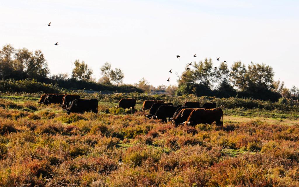 Schwarze Stiere im Moor.