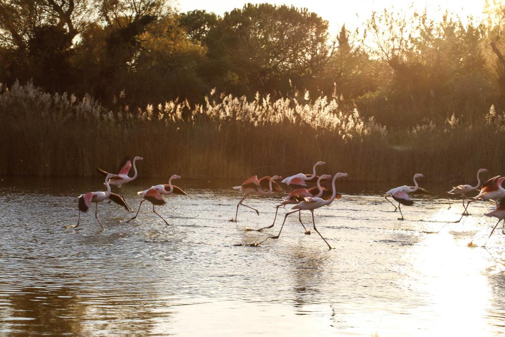 Rosafarbene Flamingos in der Abenddämmerung.