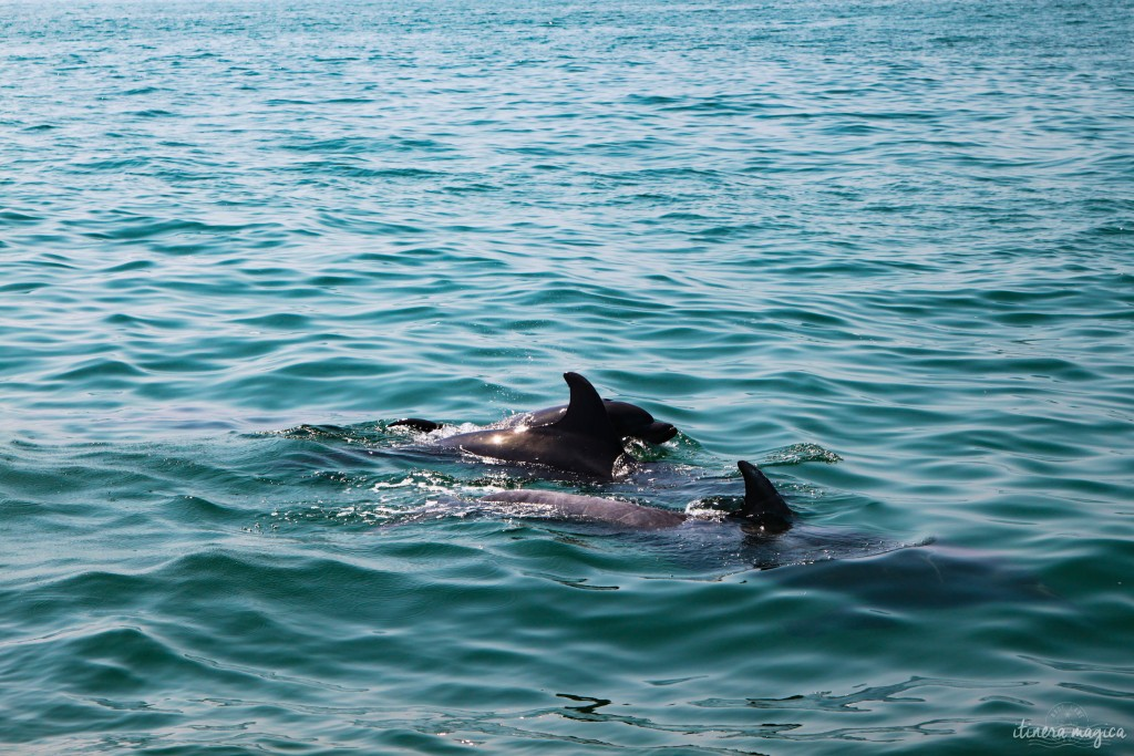 Dolphins in Setubal.