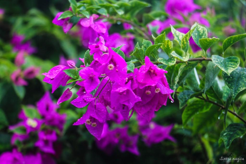 Bougainvilliers en fleur.