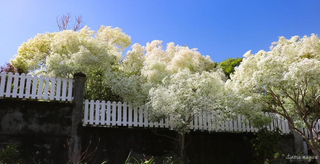 Merveilleux flamboyants blancs.