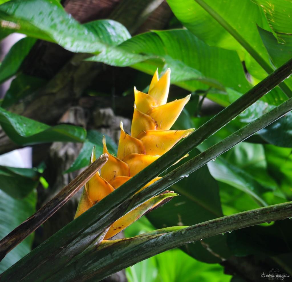 Est-ce un balisier jaune, ou une autre fleur ? Mes talents d'herboriste sont mis à mal.