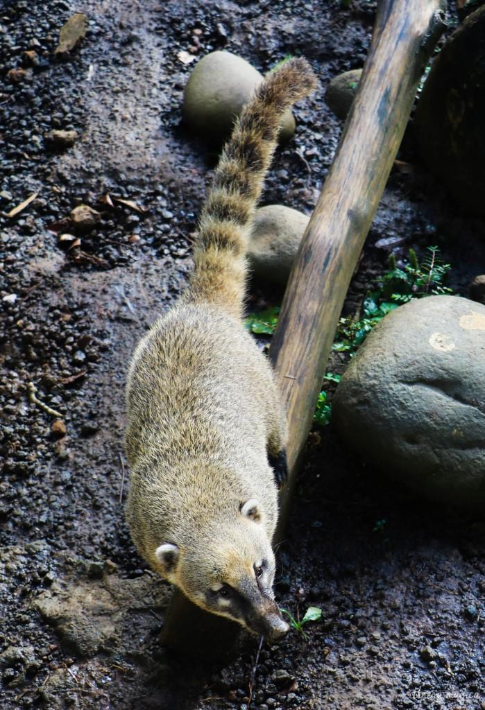 Coati, également présent à l'état sauvage en Guadeloupe.