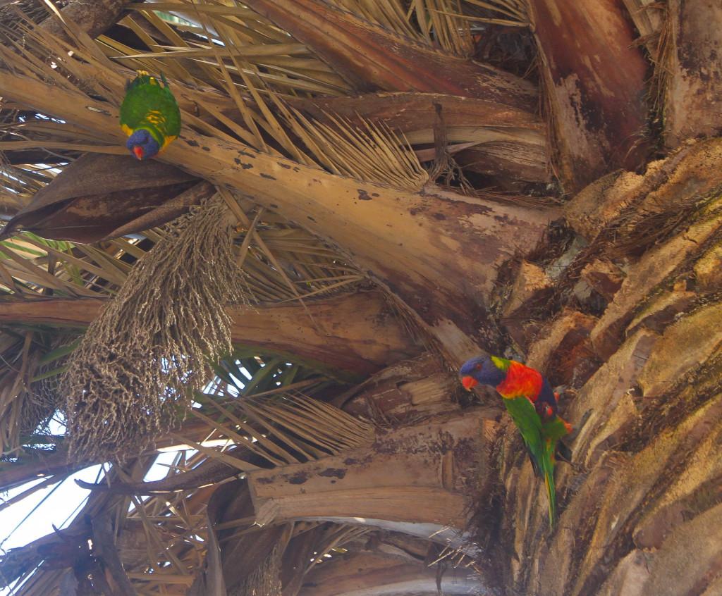 oiseaux palmier australie inséparables