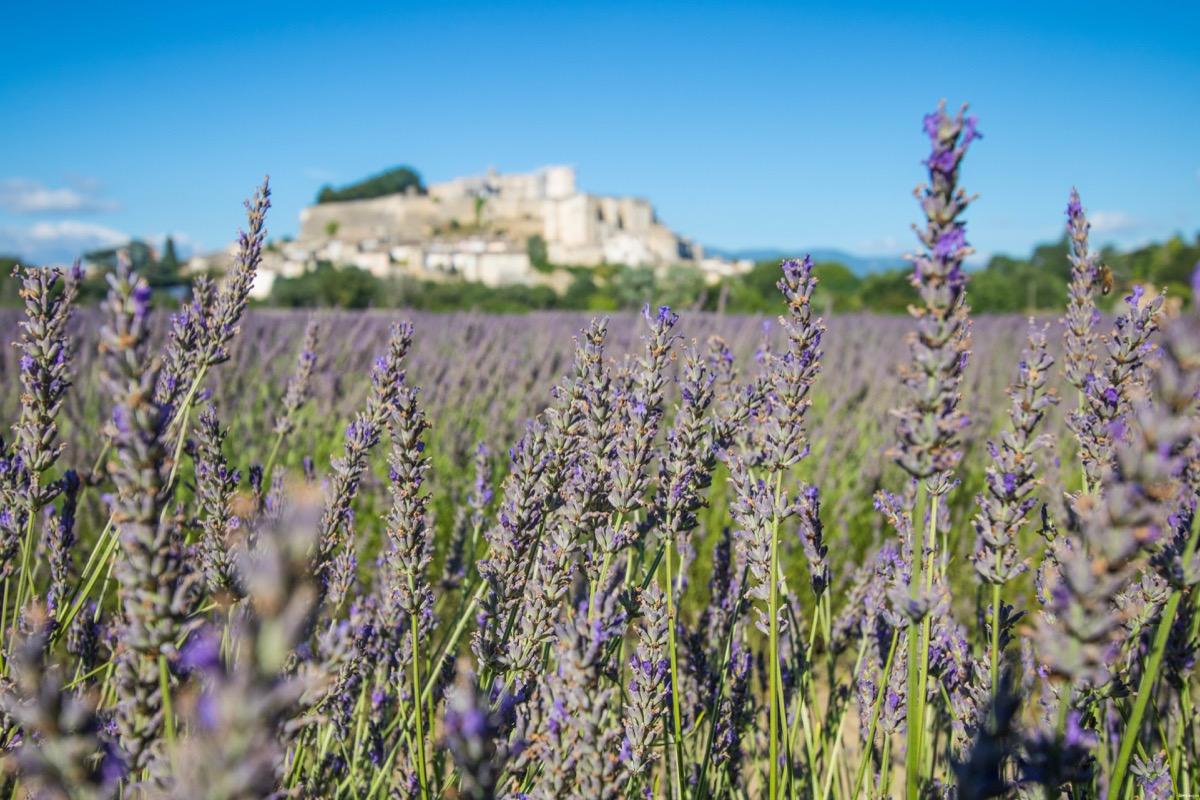 Où voir de la lavande en Drôme provençale ?