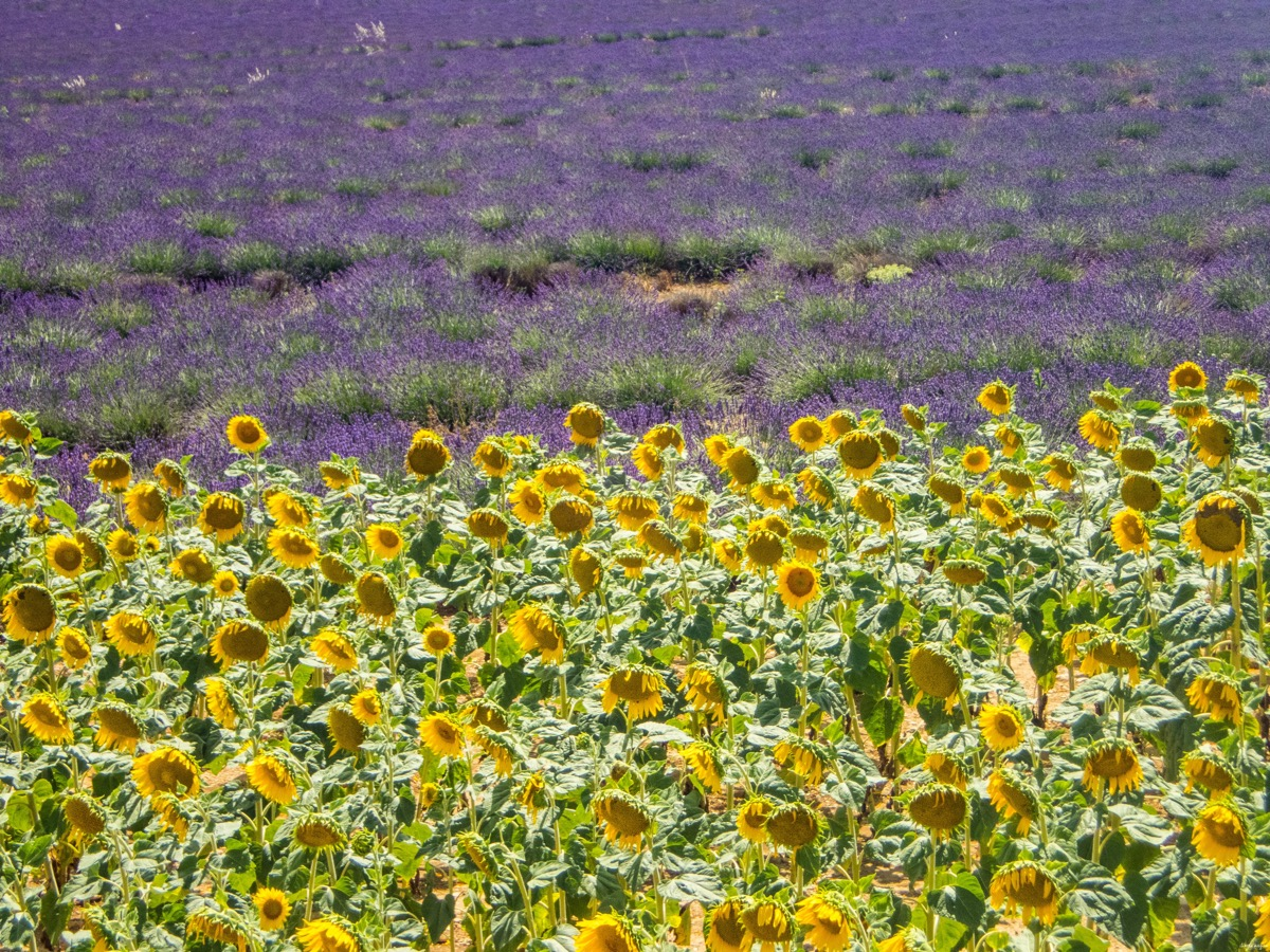 sun flowers and lavender fields