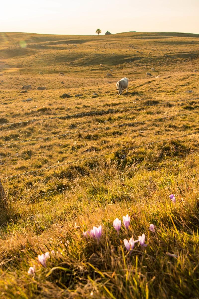 Que voir et que faire sur l'Aubrac ? Activités et choses à voir à Laguiole et Brameloup, brame du cerf, burons, fromages. Blog Aubrac, nord Aveyron #Aubrac #Aveyron #France #Occitanie #Auvergne