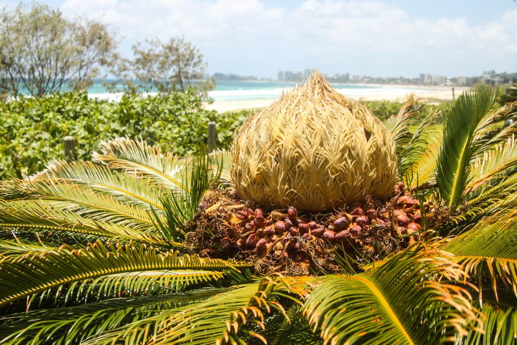 palmier gold coast surfers paradise flore australie