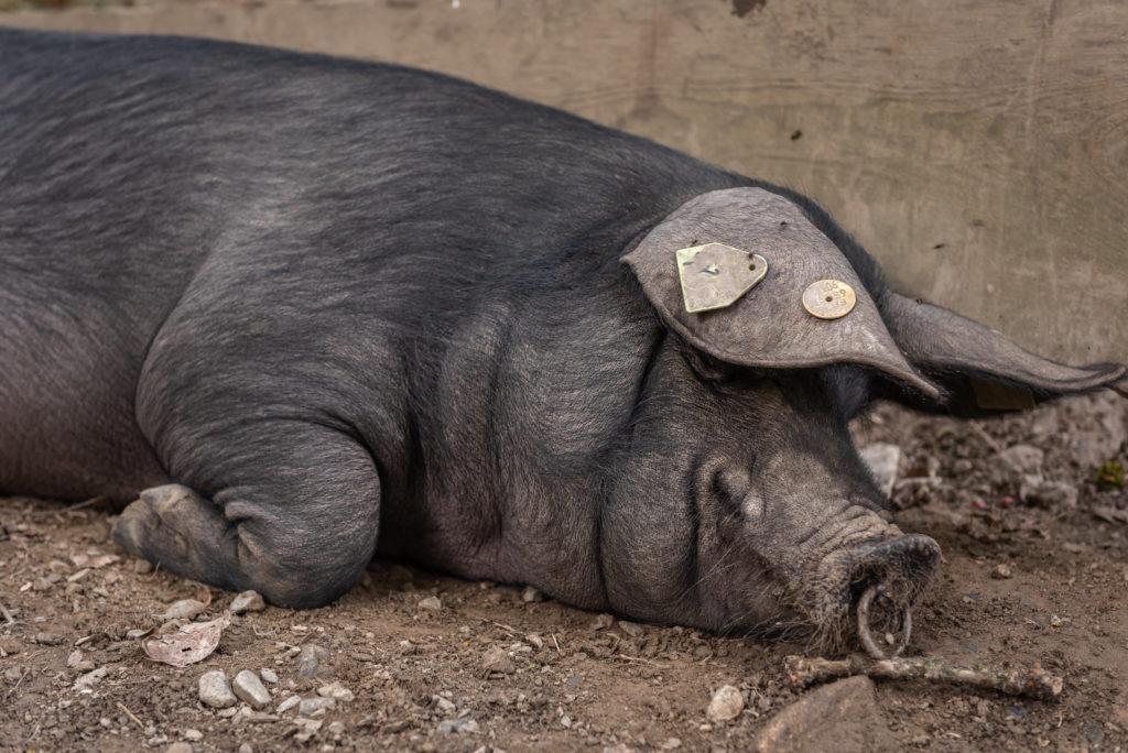porc noir de bigorre saint lary